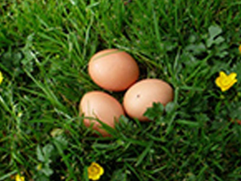Frische Eier im Gras