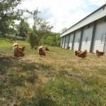 Hennen im Freiland